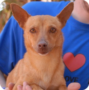Chihuahua Mix Puppy for adoption in Las Vegas, Nevada - Carnegie