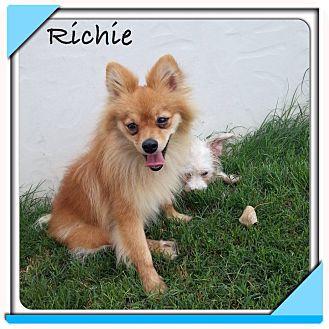 Pomeranian Mix Dog for adoption in San Antonio, Texas - Richie