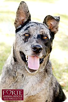 Catahoula Leopard Dog/Blue Heeler Mix Dog for adoption in Marina del Rey, California - Pepper