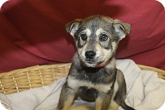 Husky Mix Puppy for adoption in Waldorf, Maryland - Ice