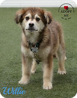 Husky Mix Puppy for adoption in Youngwood, Pennsylvania - Willie