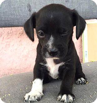 Wheaten Terrier/Chihuahua Mix Puppy for adoption in Sherman Oaks, California - Dagwood