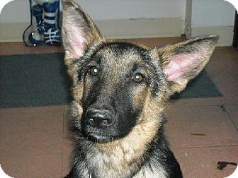 German Shepherd Dog Dog for adoption in Fort Walton Beach, Florida - Von Barron