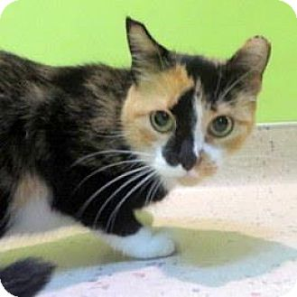 Domestic Shorthair Cat for adoption in Janesville, Wisconsin - Patty