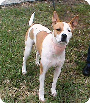 Boxer/Basenji Mix Dog for adoption in Maynardville, Tennessee - Scooby