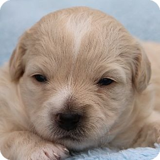 Bichon Frise Mix Puppy for adoption in La Costa, California - Danica