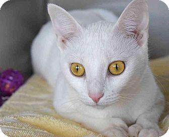 Domestic Shorthair Cat for adoption in Sierra Vista, Arizona - Loca