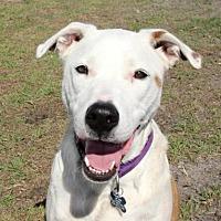 Adopt A Pet :: Samuel NKA Copper - Loxahatchee, FL