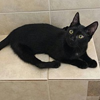 Domestic Shorthair Cat for adoption in St. Cloud, Florida - Dewey