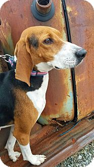 Treeing Walker Coonhound Dog for adoption in Hagerstown, Maryland - Whitney