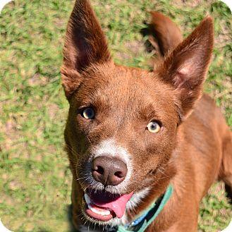 Border Collie Mix Dog for adoption in Brooksville, Florida - 10310080