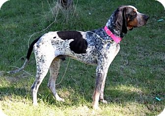 Bluetick Coonhound/Coonhound Mix Dog for adoption in Ontario, Ontario - Bandit-ADOPTED!