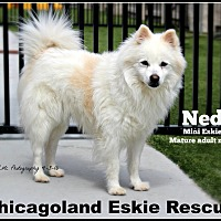 Adopt A Pet :: Mr. Ned - Elmhurst, IL