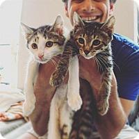 Adopt A Pet :: Pudding & Porridge! Two Adorable Baby Boys! - Brooklyn, NY