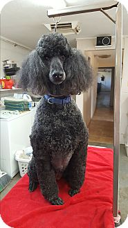 Poodle (Standard) Dog for adoption in chaparral, New Mexico - Shelly