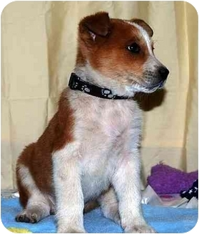 Shepherd (Unknown Type)/Australian Cattle Dog Mix Puppy for adoption in Broomfield, Colorado - Capitan