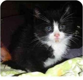 Domestic Shorthair Kitten for adoption in Molalla, Oregon - Kitten