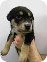 Rottweiler/Labrador Retriever Mix Puppy for adoption in Oak Lawn, Illinois - Polly