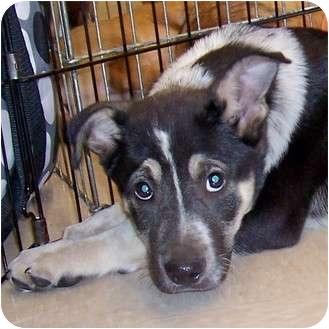 Australian Shepherd/Shepherd (Unknown Type) Mix Puppy for adoption in Olive Branch, Mississippi - Captain Habinero Mud Bug