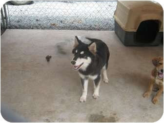 Husky/Shepherd (Unknown Type) Mix Dog for adoption in Henderson, North Carolina - Bart