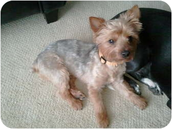 Yorkie, Yorkshire Terrier/Silky Terrier Mix Dog for adoption in waterbury, Connecticut - Arliss