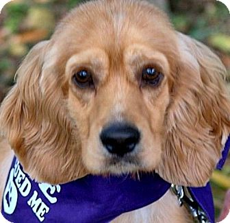Cocker Spaniel Dog for adoption in Wakefield, Rhode Island - ROSCOE(WHAT A STORY!! PLS READ