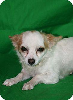 Chihuahua Mix Dog for adoption in Westminster, Colorado - Pushinka