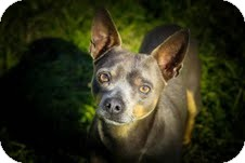 Chihuahua Mix Dog for adoption in justin, Texas - Freddy
