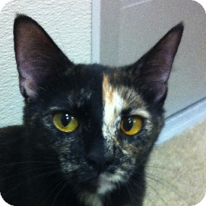 Domestic Shorthair Cat for adoption in Gilbert, Arizona - Janet