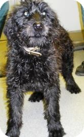 Labradoodle/Terrier (Unknown Type, Medium) Mix Dog for adoption in Lincolnton, North Carolina - Nathaniel