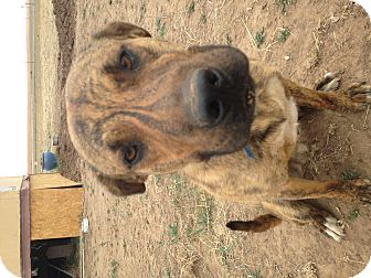 Pit Bull Terrier Mix Dog for adoption in Lubbock, Texas - Buddha (courtesy listing)