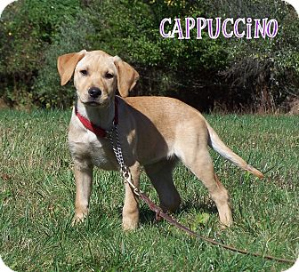 Labrador Retriever Mix Puppy for adoption in Milford, New Jersey - Cappuccino