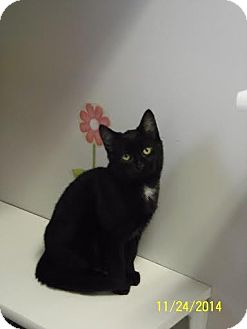 Domestic Shorthair Cat for adoption in China, Michigan - Dinah
