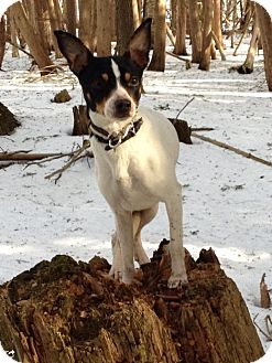 Rat Terrier Dog for adoption in Barrie, Ontario - Mickey