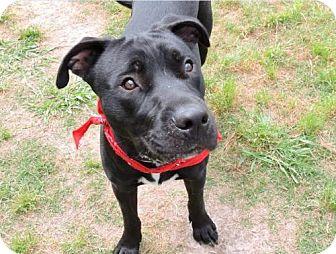Labrador Retriever/Boxer Mix Dog for adoption in Boulder, Colorado - Matt