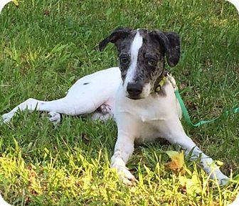 Catahoula Leopard Dog Mix Puppy for adoption in Starkville, Mississippi - Rowan