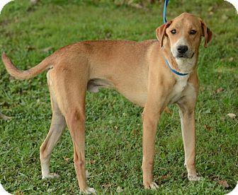 Labrador Retriever Mix Dog for adoption in Groton, Massachusetts - Chase