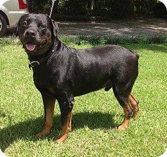 Rottweiler Dog for adoption in Alachua, Georgia - Dr Bruno