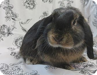 Lop-Eared Mix for adoption in Los Angeles, California - Clover