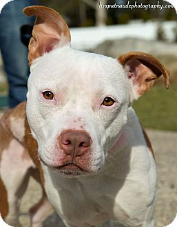 Pit Bull Terrier Mix Dog for adoption in Mansfield, Massachusetts - Piglet