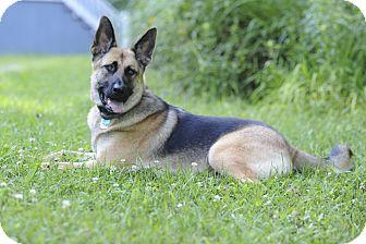 German Shepherd Dog Dog for adoption in Roswell, Georgia - Loki (Guest)