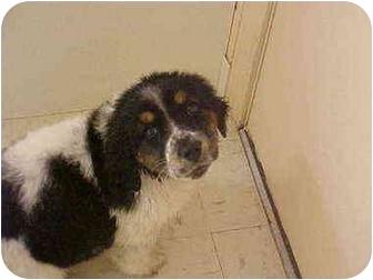Labrador Retriever/St. Bernard Mix Puppy for adoption in Burnsville, North Carolina - Jasper