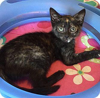 Domestic Shorthair Kitten for adoption in Tampa, Florida - Tessa