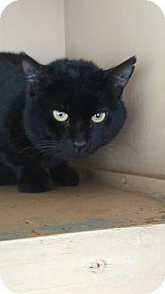Domestic Shorthair Cat for adoption in Port Coquitlam, British Columbia - Tusk