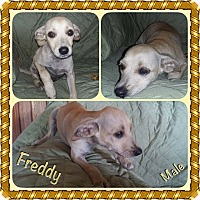 Adopt A Pet :: Freddy 1 in CT - Manchester, CT