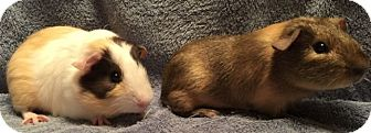 Guinea Pig for adoption in Highland, Indiana - Paulie