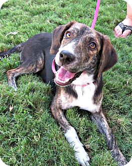 Hound (Unknown Type)/Beagle Mix Dog for adoption in McKinney, Texas - Shasta