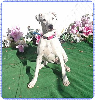 Retriever (Unknown Type)/Dalmatian Mix Dog for adoption in Marietta, Georgia - BAILEY