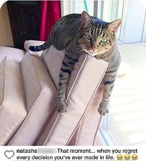 Domestic Shorthair Cat for adoption in Monrovia, California - Mr. Potato Head
