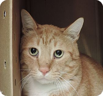 Domestic Shorthair Cat for adoption in Sioux City, Iowa - TC